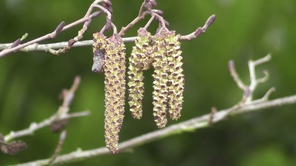 Winter Catkins of Alder Tree Gracefully Blowing in the Wind