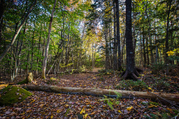 Leaf Covered Path in Forest with Fallen Logs
