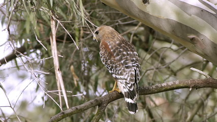 Red Shouldered Hawk Bird