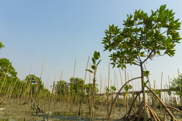 The Young Mangrove Forest