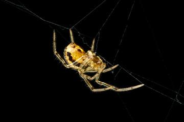 Spider Steatoda castanea