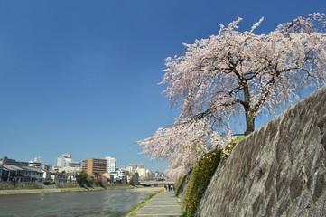 京都鴨川の桜