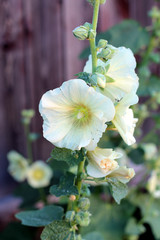 Yellow mallow in the garden