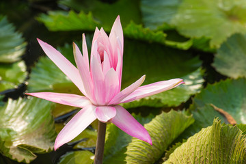 pink lotus with the leaf under sunlight