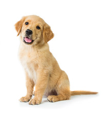 "Постер, картина, фотообои ""Golden Retriever dog sitting on the floor, isolated on white bac"""