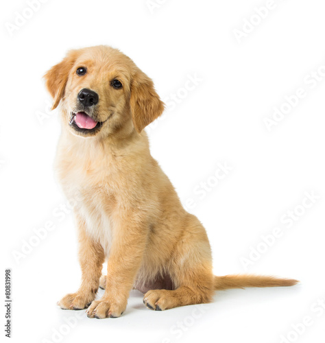 Golden Retriever dog sitting on the floor, isolated on white bac - 80831998