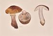 Original oil and watercolors painting of moshrooms - 80832783