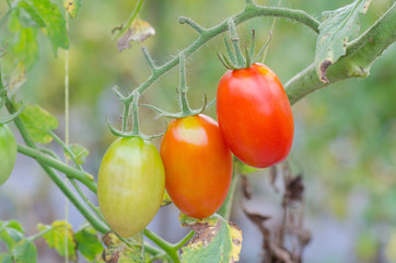 tomatoes hanging on tree