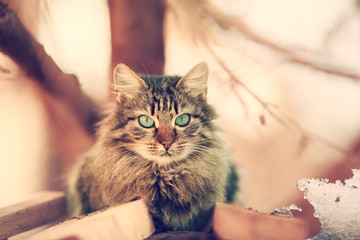 Vintage portrait of cute siberian cat outdoors
