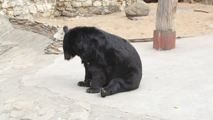 Himalaya bear in the open-air cage of a zoo