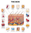 Skin anatomy, detailed illustration. Beautiful bright colors. - 80836573
