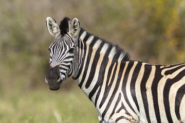 Zebra Wildlife