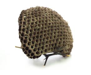 Wasp nest on white backgrounds