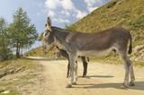 2 donkeys , Equus africanus asinus