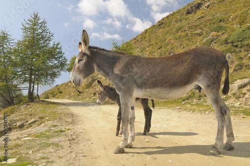 Poster Ezel 2 donkeys , Equus africanus asinus
