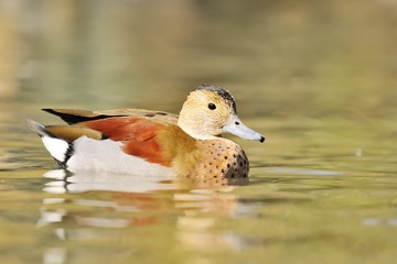 male ringed teal (Callonetta leucophrys) in water