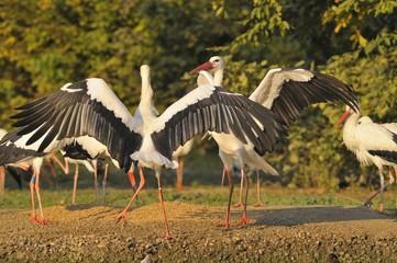 Group of storks ( white stork - Ciconia ciconia Linnaeus )