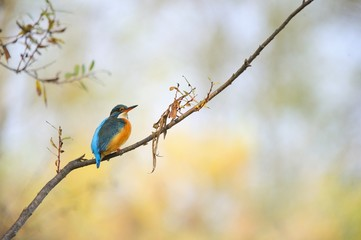 common kingfisher ( alcedo atthis) or river kingfisher