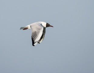 Mediterranean Gull n Flight