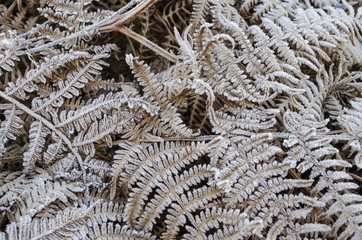 Closeup detail of frost covered fern leaves