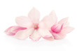 Magnolia, pink flowers and buds group on white, clipping path