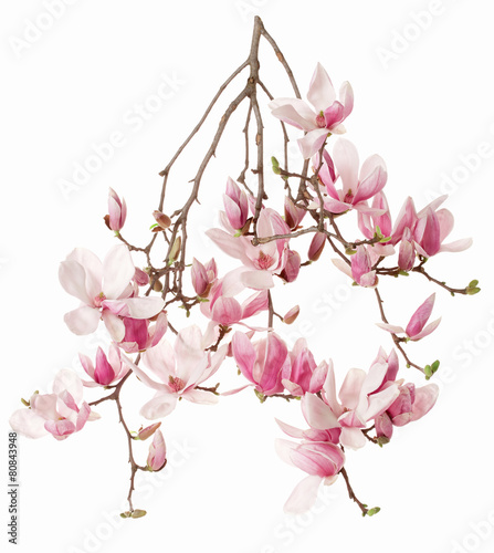 Magnolia, flower branch isolated on white - 80843948