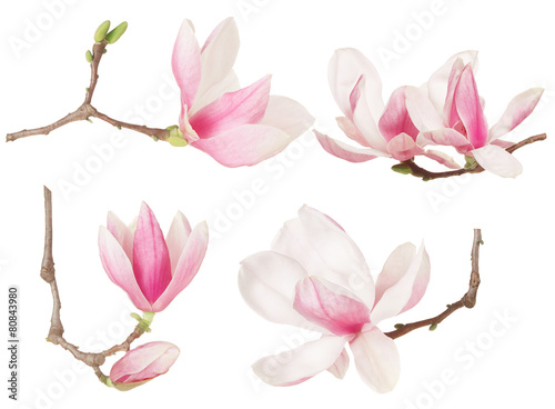 Staande foto Bloemenwinkel Magnolia flower twig spring collection on white, clipping path