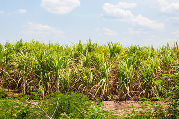 Sugarcane field at thailand.with blue sky background.