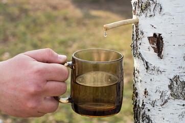 collect birch sap