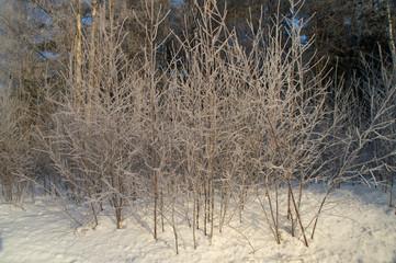Frost-shrubs