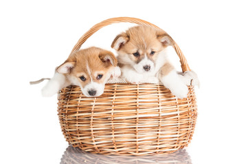 Pembroke welsh corgi puppies sitting in the basket