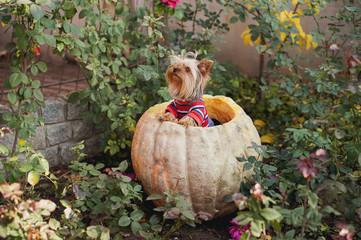 Yorkshire terrier sitting in a pumpkin in a lush rose garden