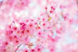 満開の陽光桜 - 80847316