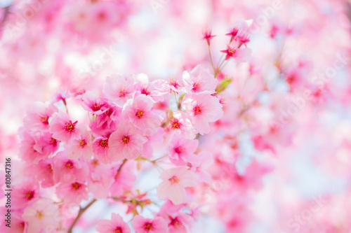 Keuken foto achterwand Kersen 満開の陽光桜