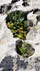 blooming plants in a depression in the limestone rocks Cyprus