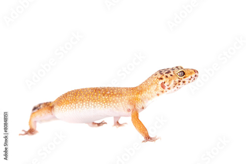 Fotobehang Luipaard Leopard Gecko on a white background