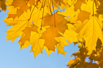 Yellow leaves of maple in the park
