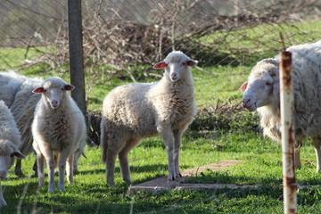 agnello nel gregge