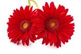Fresh Gerbera flowers.