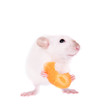 Leinwandbild Motiv White laboratory rat eating carrot