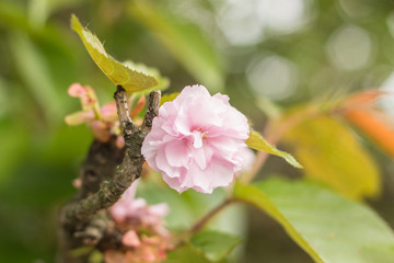 pink flower of sakura on tree