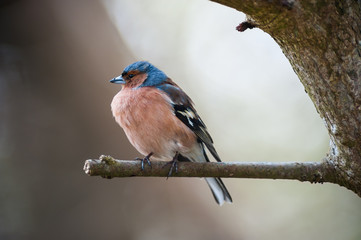 common chaffinch on a branch