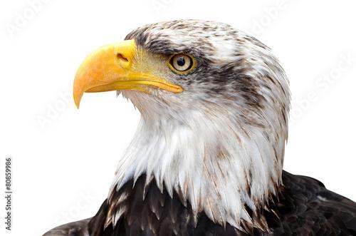 Foto op Plexiglas Eagle Bald Eagle - Haliaeetus leucocephalus