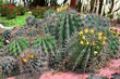 thickets of cactus
