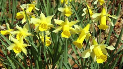 Daffodils in the park Domaine de Huizingen (Belgium)