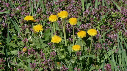 Dandelions, flowers and grass at meadow in spring
