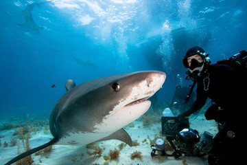 Tiger shark and underwater photographer