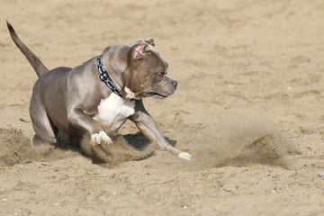 Pitbull playing in the sand at the beach