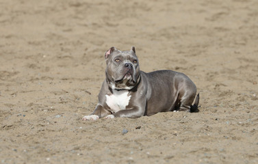 Pitbull laying in the sand posing for a portrait at the beach