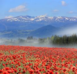 Poppy flower meadow in mountains